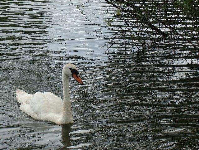 Swan on Fendrod Lake, Llansamlet, Swansea