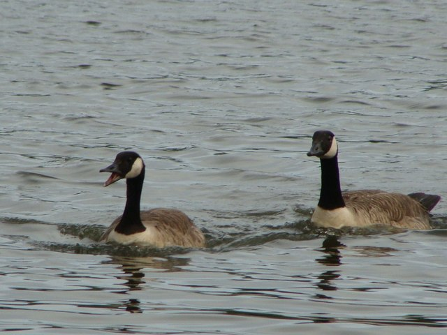 Chatty Canada goose with friend on Fendrod Lake, Swansea
