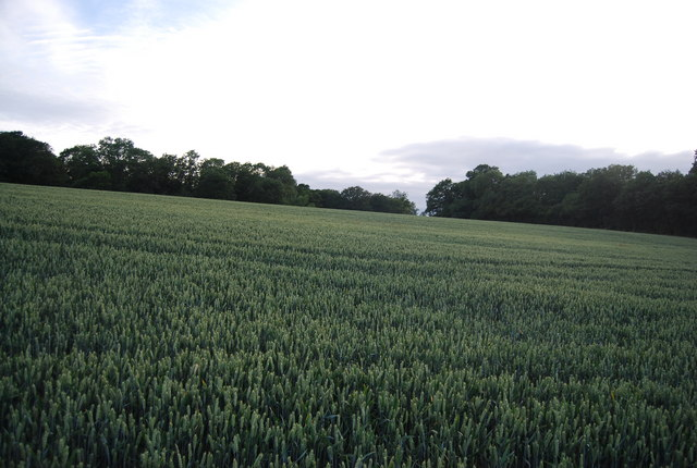 Wheat near Eight Acre Wood
