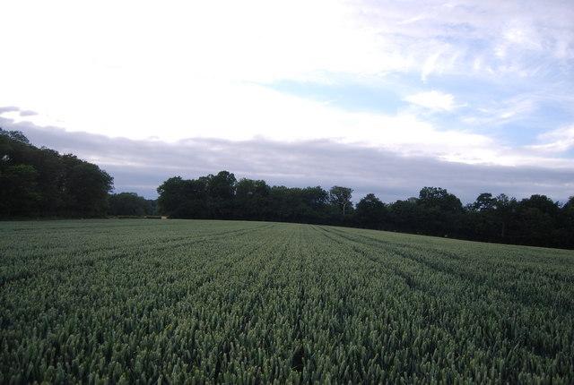 Wheat near Hall's Green