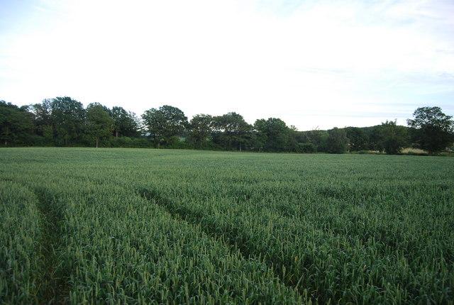 Wheat near Eight Acre Wood