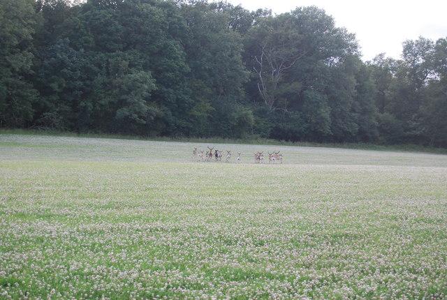 Deer near Hale Oak Farm