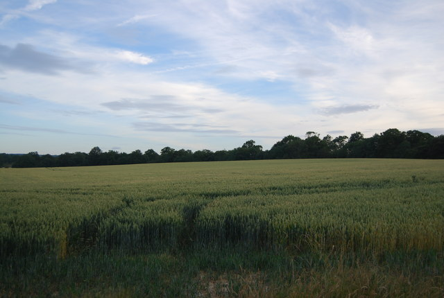 Wheat near Hale Oak Farm