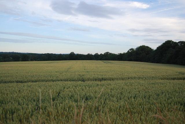 Wheat near Hale Oak Farm