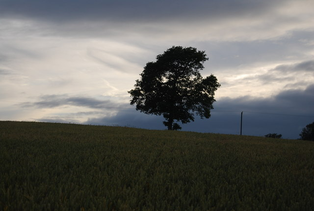 Tree on the horizon in a wheat field