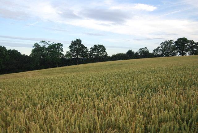 Wheat near Sharp's Place