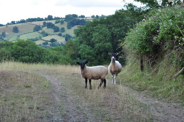 Tiverton : Looking Sheep at Cotteylands