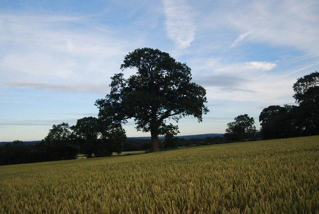 Tree in the wheat field