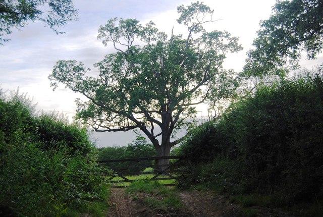 An impressive tree south of Bushes Farm