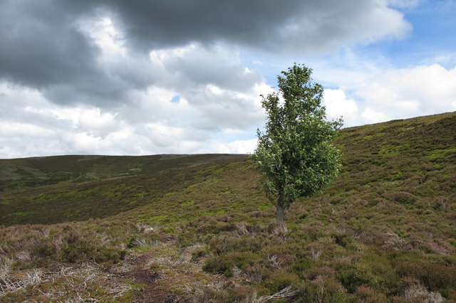 Lone tree above Tail Clough