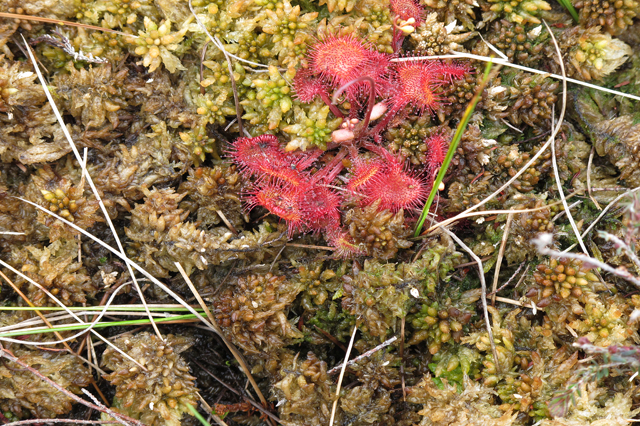 Sundew on moss at Mere Clough Head
