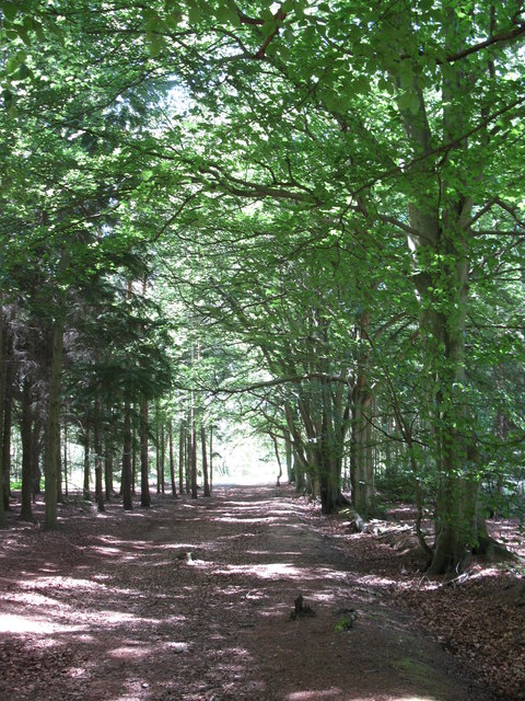 Line of beeches