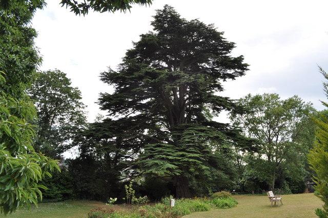 Cedar tree outside Tutshill House (now part of St. Johns on the Hill school)