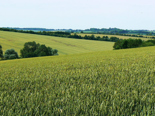 Wheat field near the bridleway to Preston