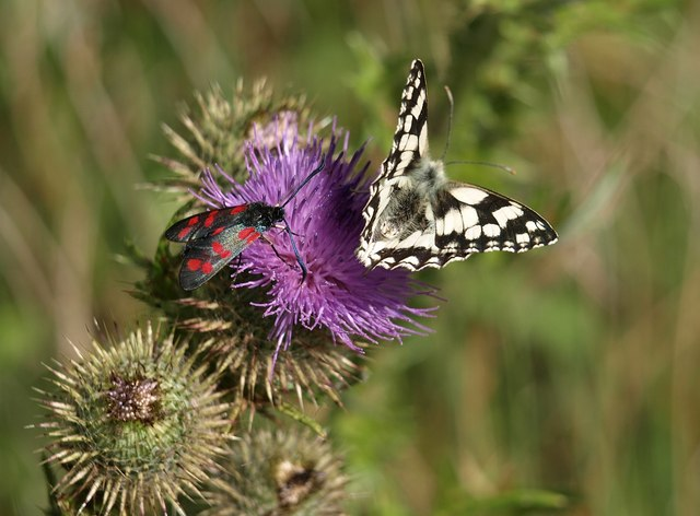 Thistle flower with visitors
