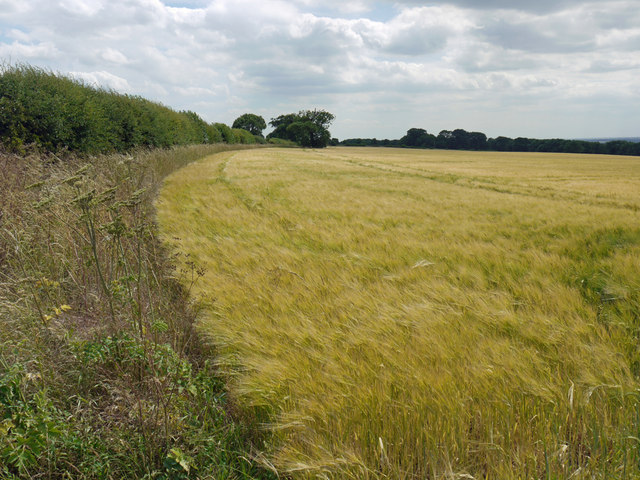 Ripening Barley on Horkstow Wolds