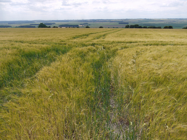Ripening Barley near Horkstow