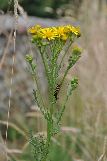 Caterpillar Climbing