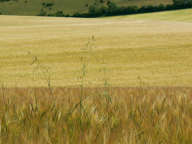 Barley, near Preston