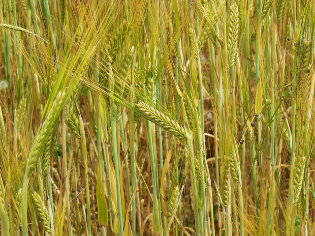 Barley close up, near Preston