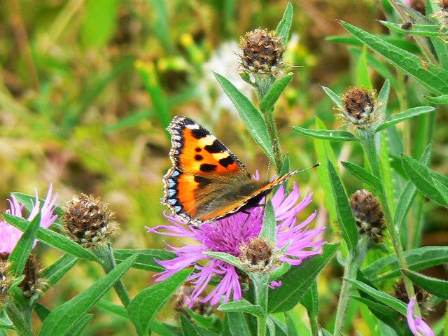 Butterfly on a flower, near Preston