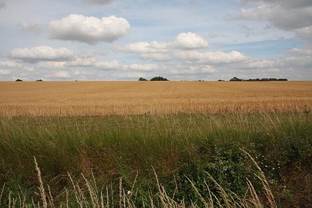 Field of barley near Wentford Farm