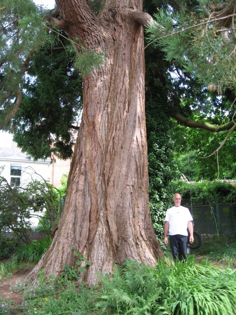 Broadstone's Giant Sequoia
