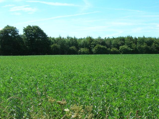 Farmland looking towards Towthorpe Plantation