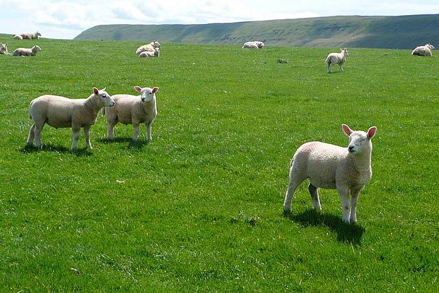 Lambs on Parc y Meirch