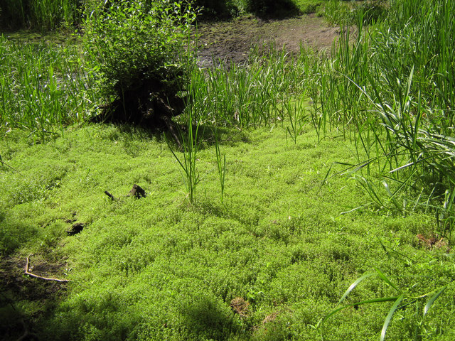 New Zealand Pygmyweed (Crassula helmsii)