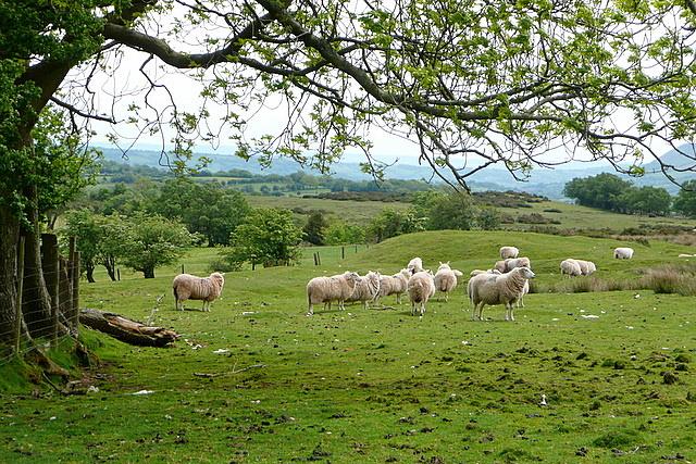 Sheep near Cefn Hill