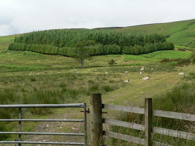 Small plantation on Sliabh nan Dearc