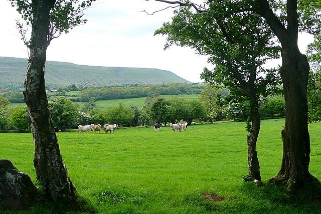 Cattle at Little Cefn Farm