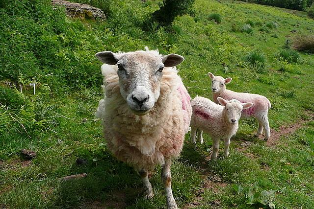 Sheep near Court Farm