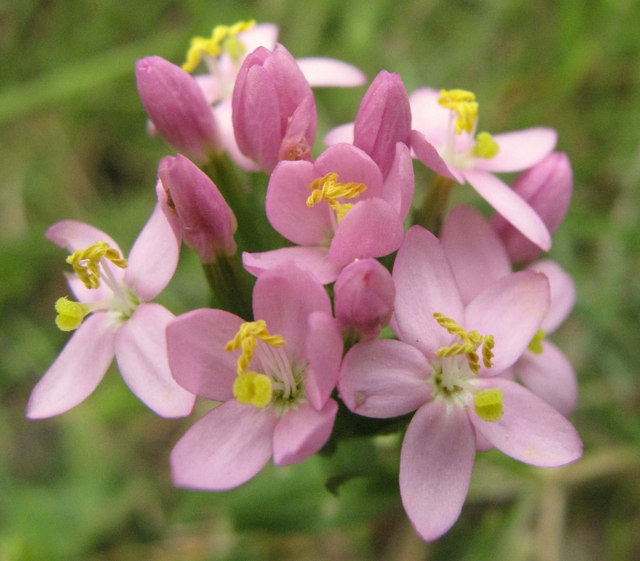 Flowers of the Common Centaury