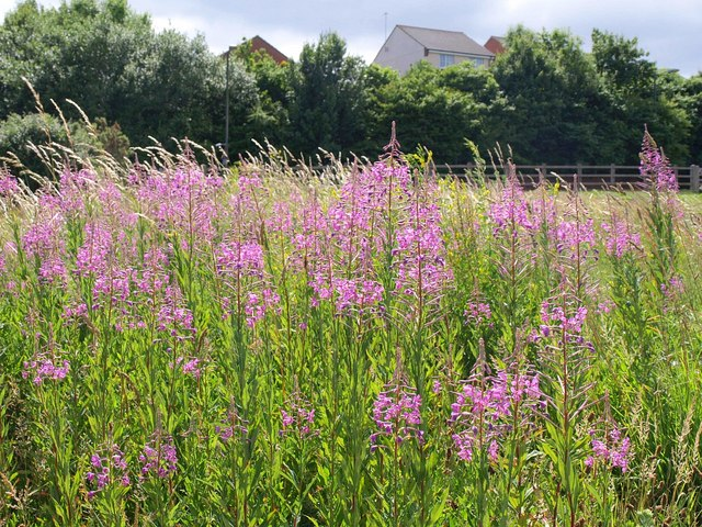Rosebay Willowherb, Barton