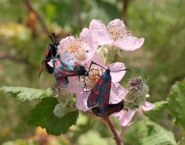 Six-spot burnet moths on bramble, Barton