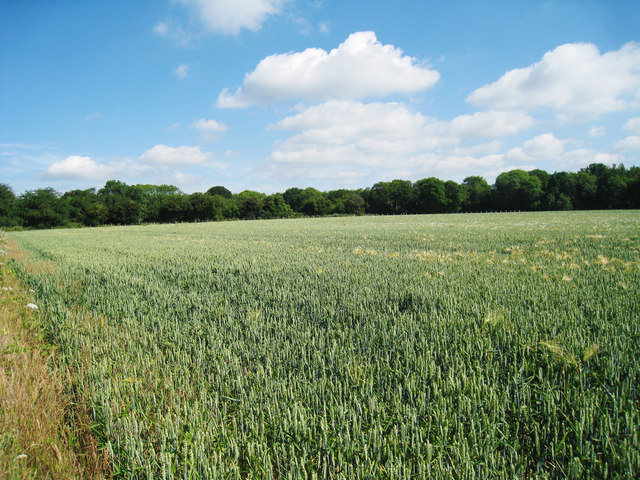 Wheat Field of Woodland Road