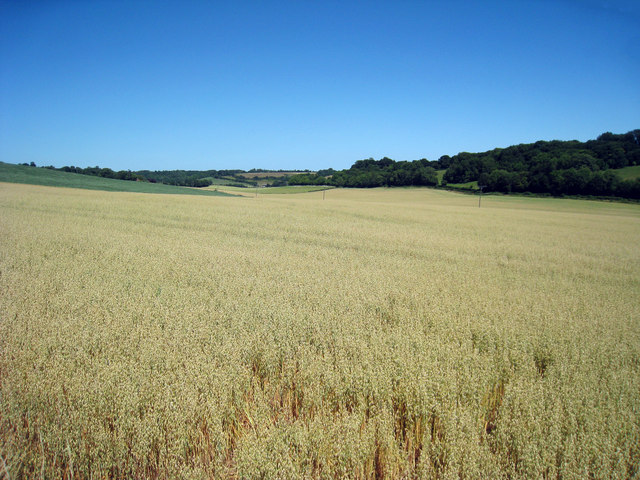 Crop Field near Bodsham
