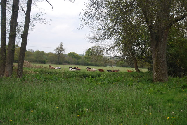 Cattle by the River Ouse