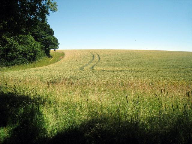 Wheat Field near Bodsham