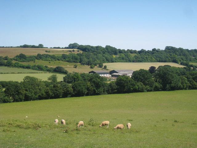 Sheep near Ittinge Farm