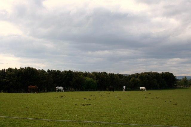 Horses at Halymyres