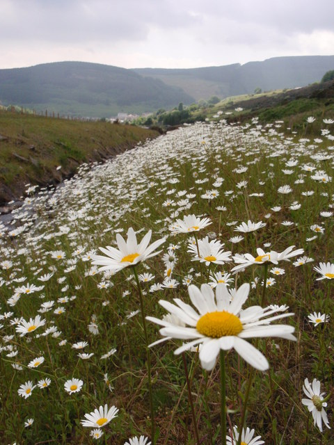 Ox-Eye Daisies by Nant Hir