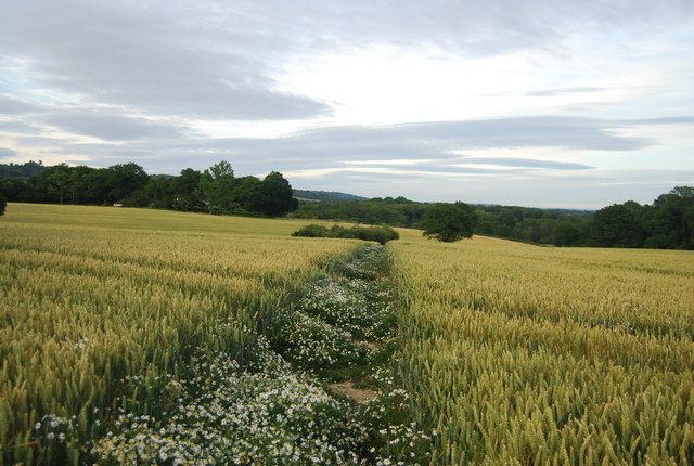 Footpath through the wheat fields to Bowzell Lane