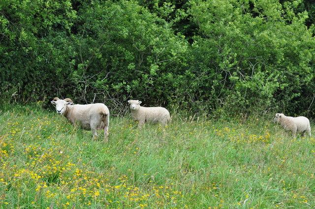 Exmoor : Wimbleball - Rams & Sheep