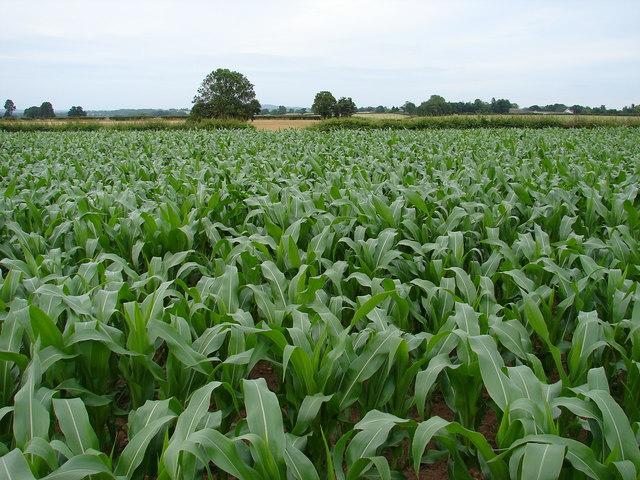 Tiptoe through the corn field