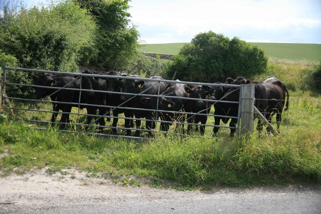 Cattle by the gateway