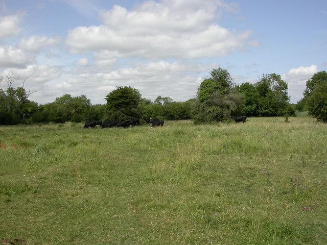 Swaythling, cattle