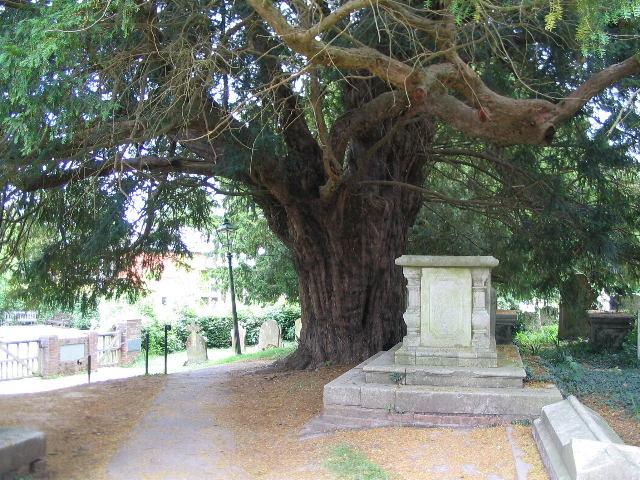 Yew, Rolvenden churchyard